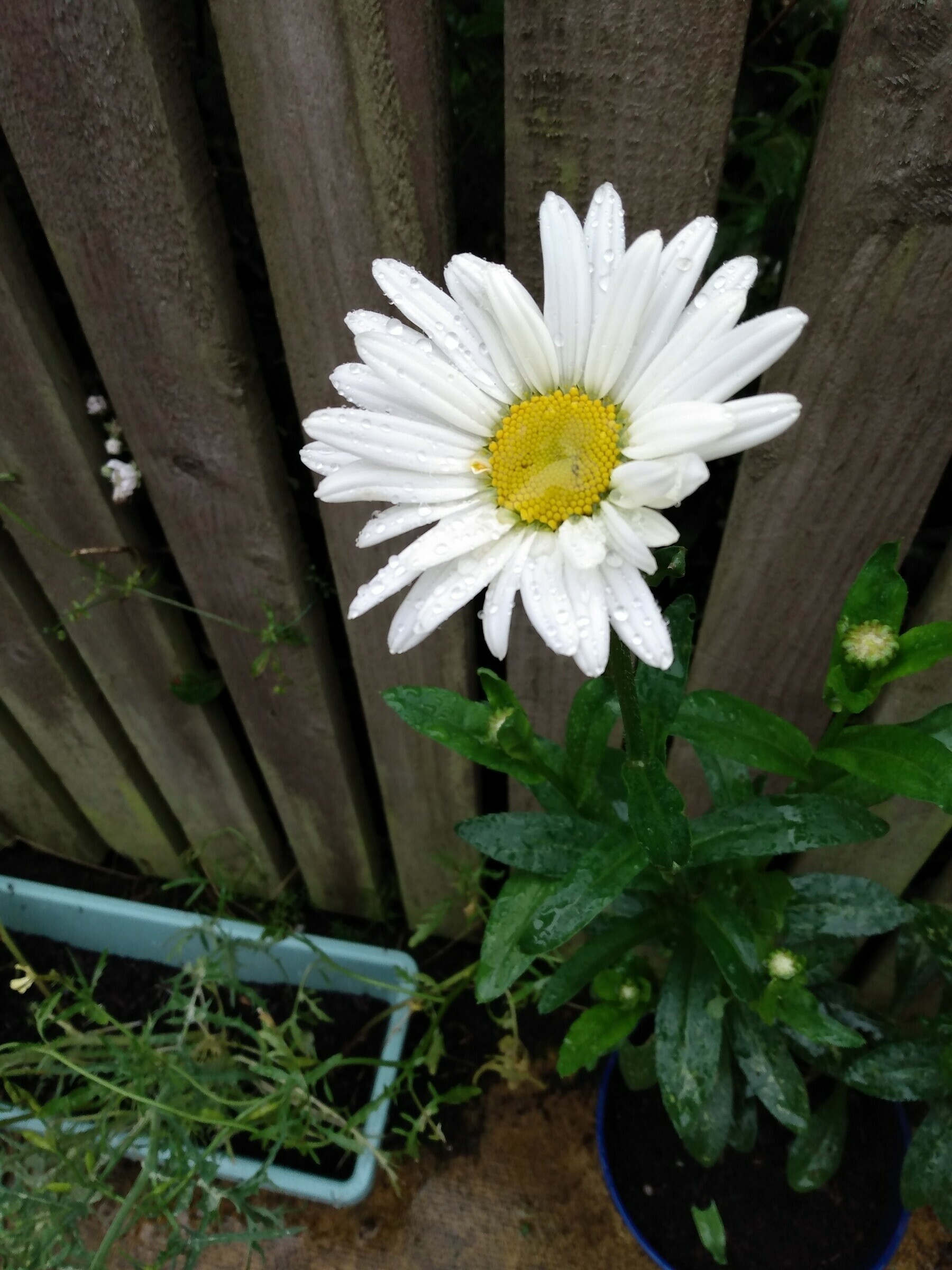 a large white daisy growing in a pot in my yard