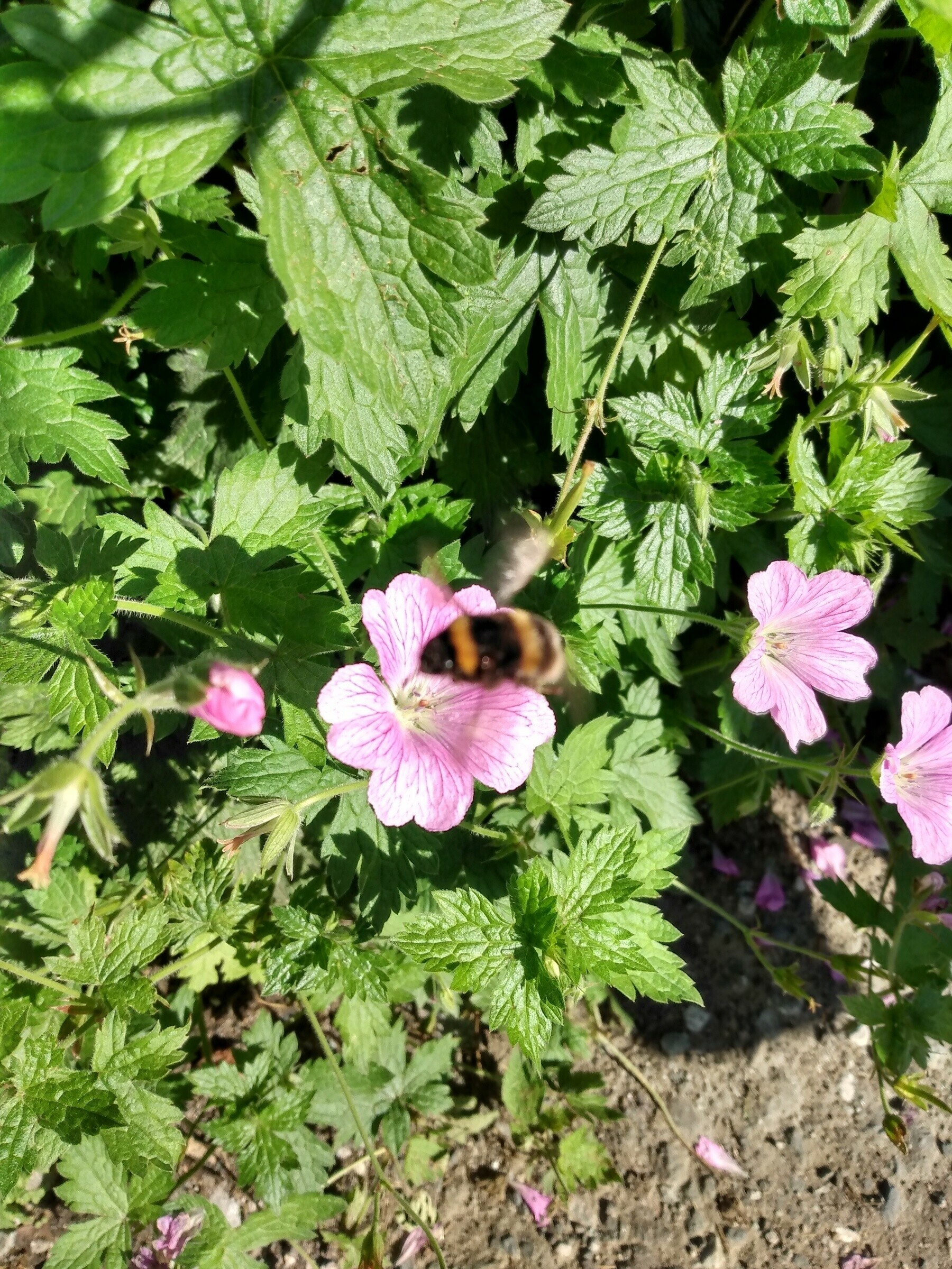 a bumblebee on a pink flower