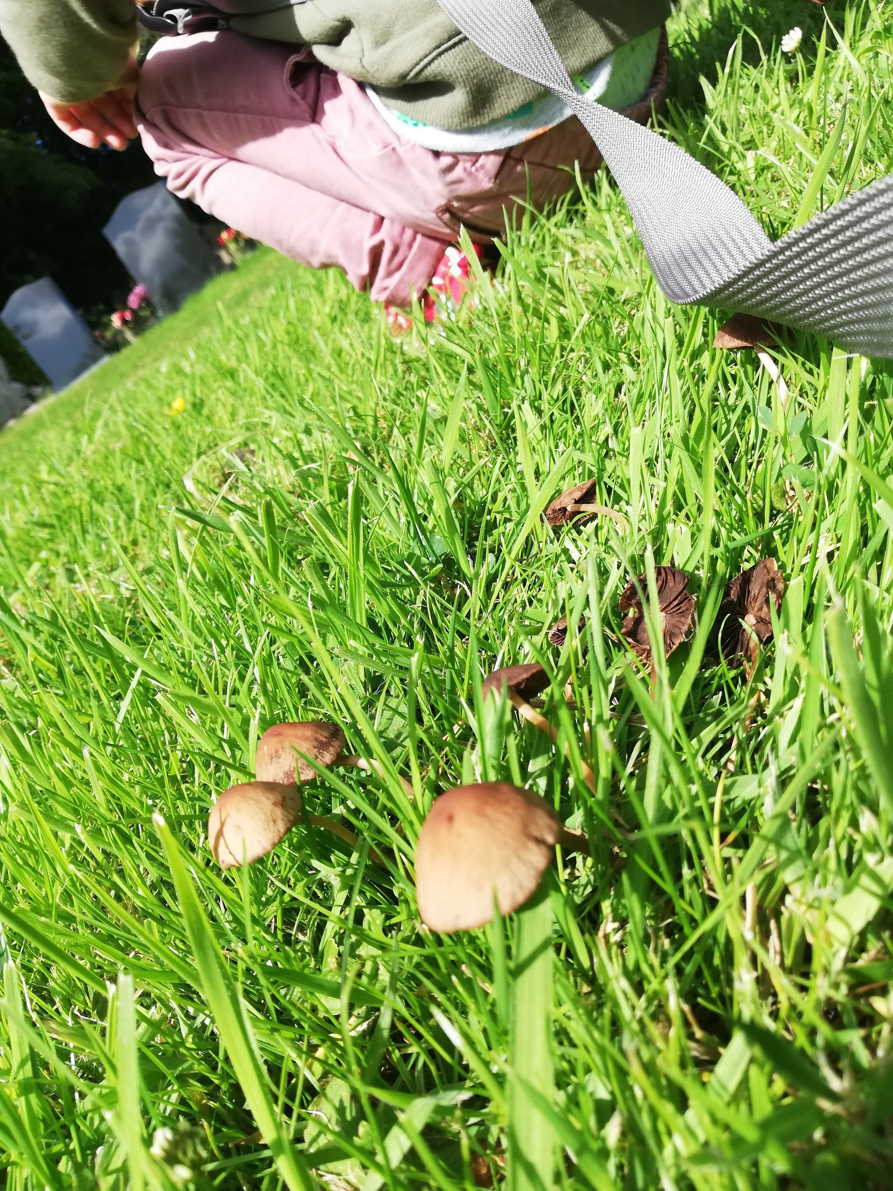 small brown mushrooms growing in the grass, a toddler is crouching down in the background